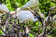 Ibis on the branch royalty free stock images