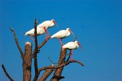 Ibis branco Fotografia de Stock