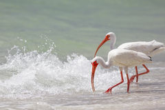Ibis branco Foto de Stock Royalty Free
