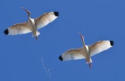Ibis branco fotografia de stock royalty free