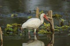 Ibis branco (albus de Eudocimus) Imagens de Stock Royalty Free