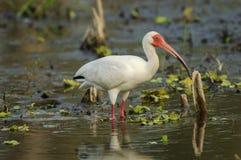 Ibis branco (albus de Eudocimus) Fotos de Stock Royalty Free