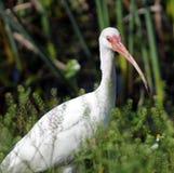Ibis branco americano Fotos de Stock