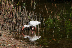 Ibis branco no pântano Imagem de Stock Royalty Free