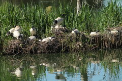 Ibis Breeding Grounds Stock Photography
