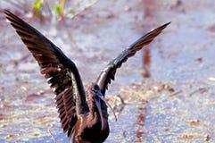 Ibis brillante Foto de archivo libre de regalías