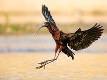 Ibis brillante en vuelo Fotografía de archivo libre de regalías