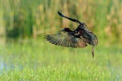 Ibis brillante (falcinellus de Plegadis) Foto de archivo