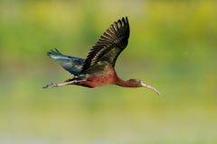 Ibis brillante (falcinellus de Plegadis) Fotografía de archivo