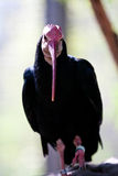 Ibis calvo del sud Immagini Stock Libere da Diritti