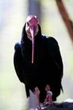 Ibis calvo meridional Imágenes de archivo libres de regalías
