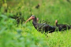Ibis calvo septentrional Imágenes de archivo libres de regalías