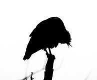 Ibis calvo septentrional Imagenes de archivo