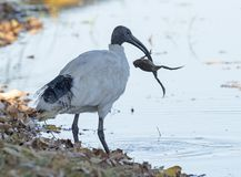 Ibis catching a frog. Ibis catching a frog in far north Queensland, Australia stock photos