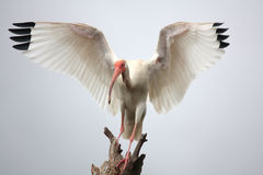 Ibis. Central Florida wildlife Refuge Royalty Free Stock Photo