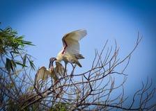 Ibis che alimenta il suo bambino Fotografie Stock Libere da Diritti