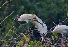 Ibis che allunga la sua gamba Fotografia Stock Libera da Diritti