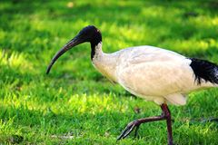 Ibis che cammina attraverso l'erba Fotografia Stock Libera da Diritti