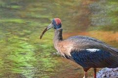 Ibis che cerca alimento Immagini Stock