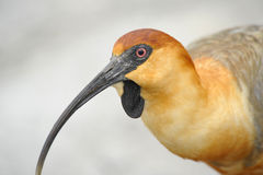 Ibis close-up head detail Stock Image