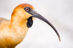 Ibis close-up head detail Stock Images