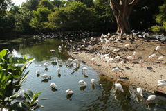 Ibis Colony. Large flock of ibis birds wading on land and in the water Stock Photos