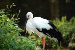 Ibis con cresta Fotos de archivo libres de regalías