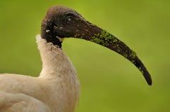 Ibis con testa nera Immagine Stock