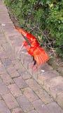 ibis fotografia stock