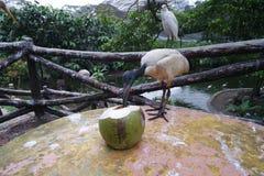 IBIS, das von der Kokosnuss trinkt lizenzfreie stockfotos