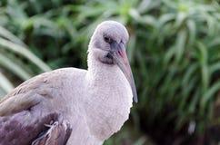 Ibis di Hadida agli uccelli dell'Eden nella baia Sudafrica di Plettenberg Fotografia Stock Libera da Diritti