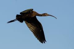 Ibis Downwing di volo Immagini Stock