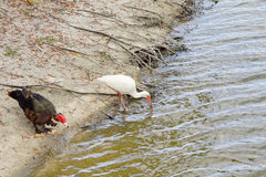 An ibis is drinking water Stock Photos