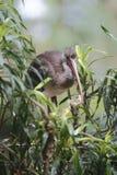 Ibis en árbol imagen de archivo libre de regalías