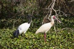 Ibis en spoonbill Royalty-vrije Stock Afbeelding