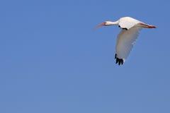 Ibis en vuelo Imagen de archivo libre de regalías