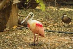 IBIS et d'autres oiseaux marchant en parc Photographie stock libre de droits