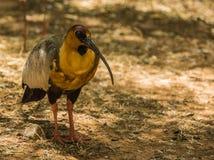 IBIS et d'autres oiseaux marchant en parc Photos stock