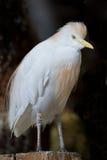 ibis för bubulcusnötkreaturegret white Royaltyfri Bild