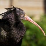 ibis för skallig eremitageronticus latinskt name nordligt Royaltyfri Bild