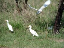 Ibis feeding Royalty Free Stock Images