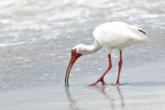 Ibis feeding in water on beach Stock Photos