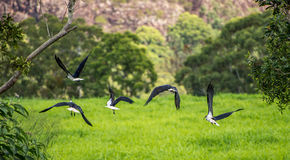 Ibis in flight under mountain Royalty Free Stock Photo