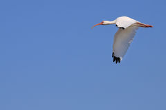 Ibis In Flight Royalty Free Stock Image