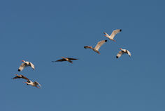 Ibis flying overhead. White adult and juvenile ibis fly overhead royalty free stock images
