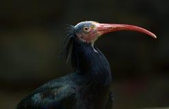 ibis för skallig eremitageronticus latinskt name nordligt Royaltyfria Foton