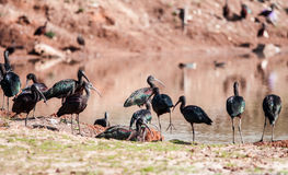 Ibis Stock Photography