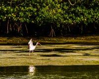 Ibis Landing on a Mangrove Island. An ibis landing on the sand at low tide by a mangrove island in a Florida lagoon royalty free stock photography