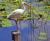 Ibis and Lily Pads. American White Ibis standing on a wooden post with one leg bent in front of a lake with lily pads Stock Images