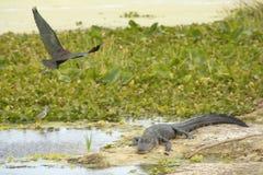 Ibis lucido che sorvola un alligatore ad Orlando Wetlands Park Fotografie Stock Libere da Diritti